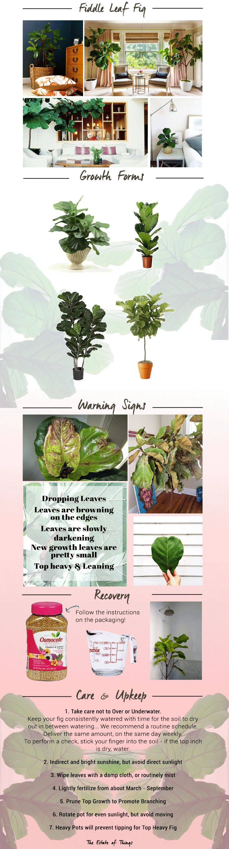 Fiddle-Leaf-Fig-Guide-by-the-Estate-of-Things