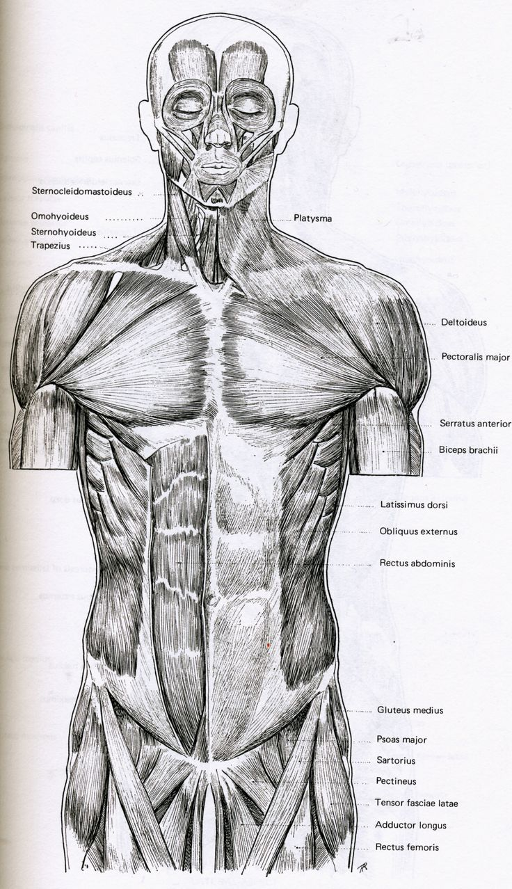 93 best Trunk Anatomy (Male) Bible images on Pinterest | Human ...