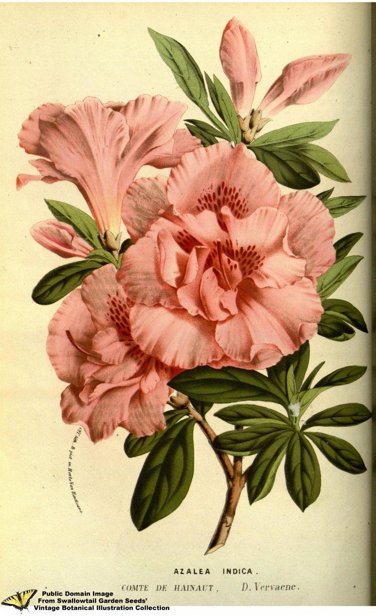 https://flic.kr/p/os1CLe | Southern indica azalea. Rhododendron indicum var. Comte de Hainaut. Flore des serres et des jardins de l'Europe v.13 (1858)