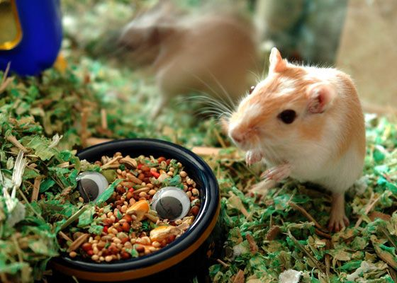 gerbil eating from a dish
