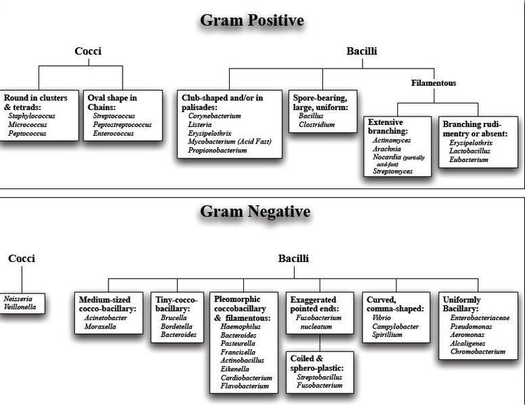 gram negative gram positive bacteria list - Google Search