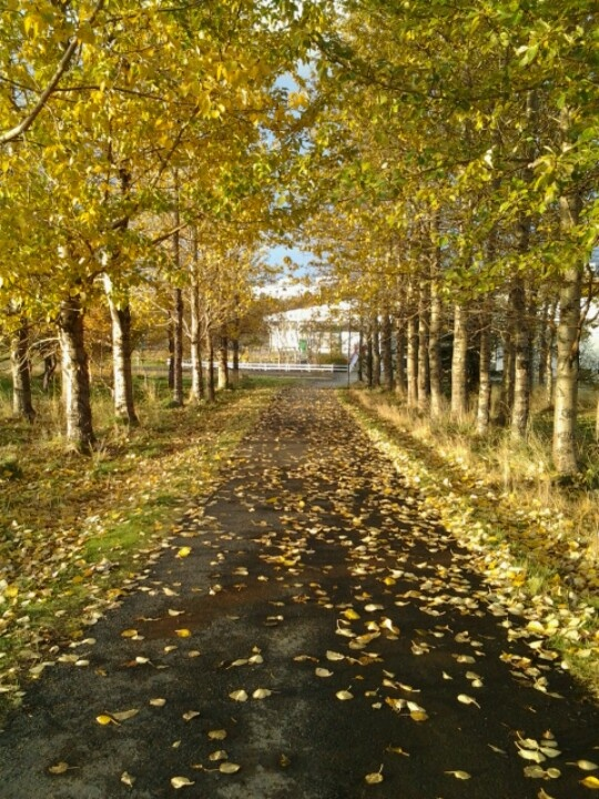 The Icelandic fall; leaves everywhere in beautiful colors :) ... Love this season.
