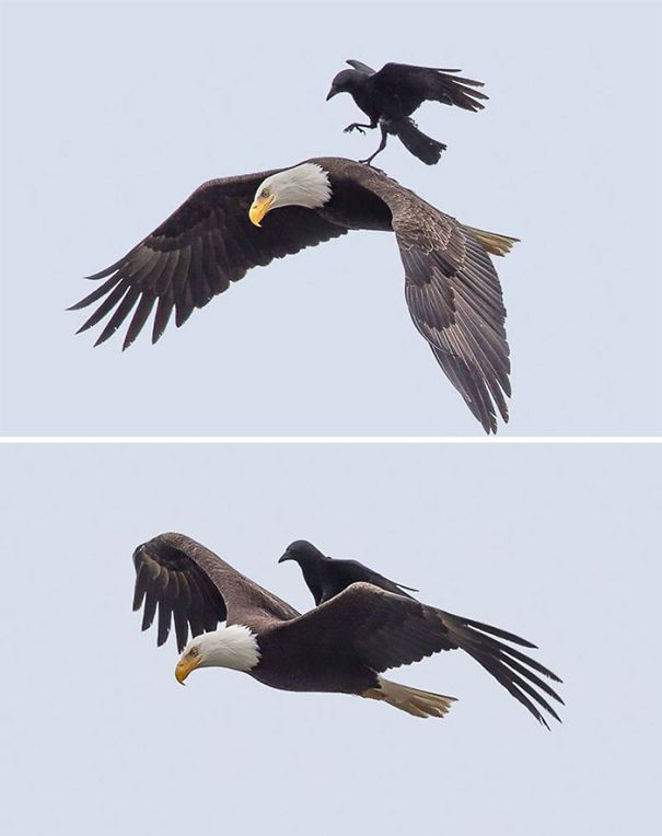 Crow Riding On The Back Of A Bald Eagle