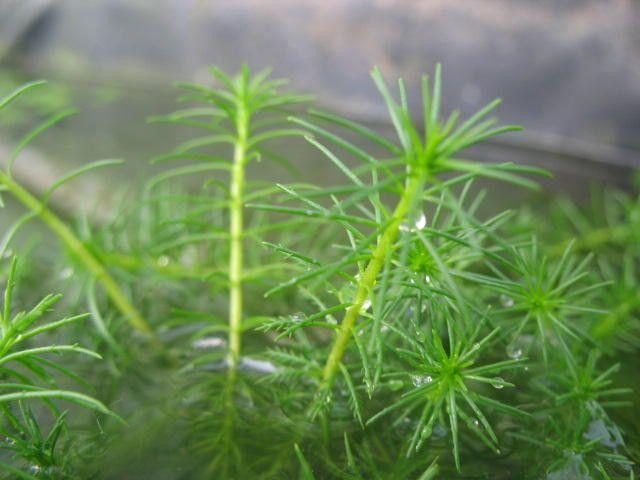 Bacopa myriophylloides - live aquarium plants - 15 stems