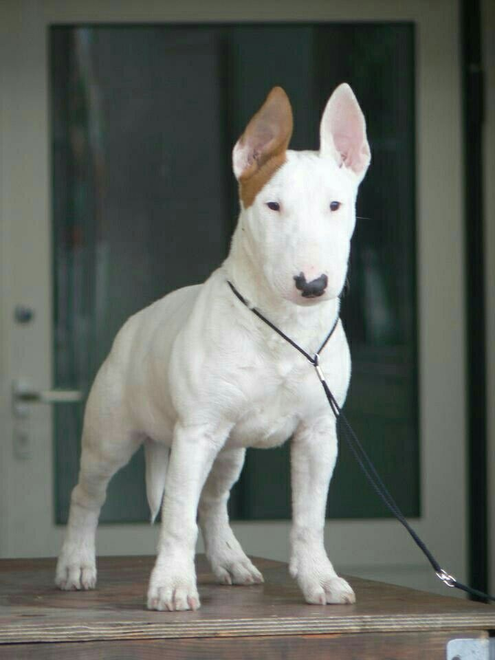 types of bull terrier 2418 best images about bully breeds on pinterest blue 3228