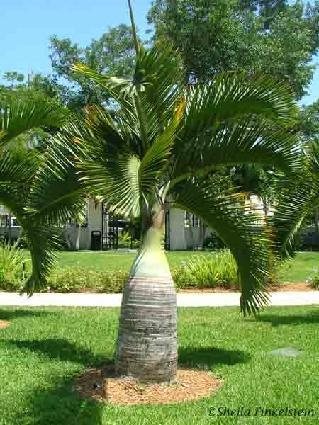 14 best Palms images on Pinterest | Palm trees, Palmas and Palms