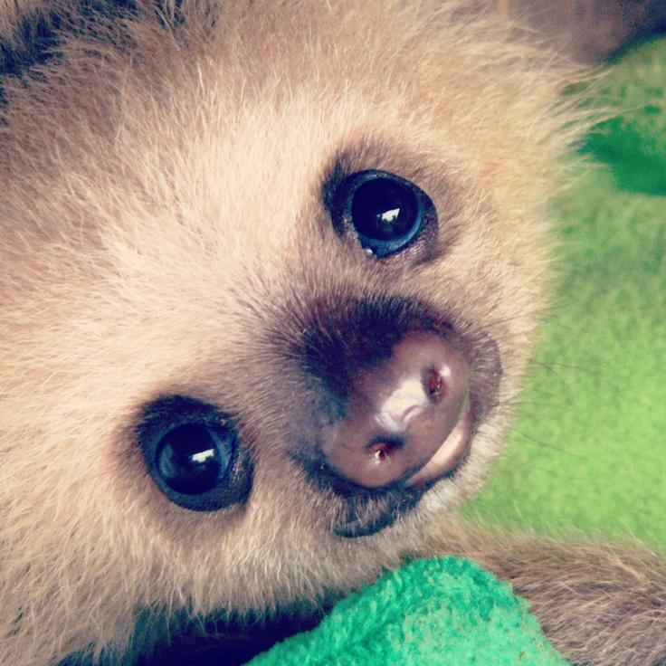 baby sloth cuteness!!!