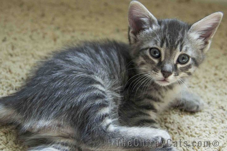 Full HD Pictures Egyptian Mau 1200x800