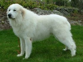 O Cão de Montanha dos Pirenéus (Chien de Montagne des Pirénées) ou Pastor dos Pirenéus é uma raça de cães pertencente ao grupo dos Molossói...