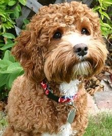 Junior is Ginger's Husband  Size: Large Mini   Color: Red and White Parti   Coat Type: Wavy Non-Shedding   Weight: 20 lbs.   Height: 15 inches  Darby Park Doodles