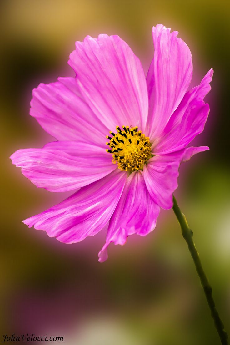 ~~Pink Cosmos by John Velocci~~