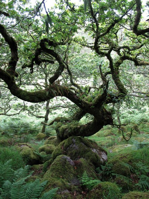 Wistmans Wood in the ancient high-level woodlands of Dartmoor in Devon, south west England, is one of three remote copses of stunted oaks and I LOVE THESE STUNTED OAKS. The name probably derives from Wisht-man's wood, the vernacular word wisht meaning pixie-led or haunted (Sophie Baverstock flickr)
