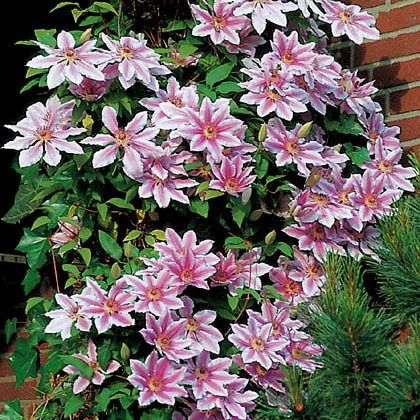 best 25 clematis nelly moser ideas on pinterest climbing clematis clematis vine and clematis. Black Bedroom Furniture Sets. Home Design Ideas