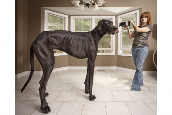 Tallest Dog - Wow!  44 inches tall and stretches 7 feet, 4 inches. Not only is Zeus the tallest living dog now, but he's the tallest living dog ever    Read more: http://newsfeed.time.com/2012/09/13/guinness-world-records-10-of-this-years-best-new-entries/#ixzz26kX7YJUP