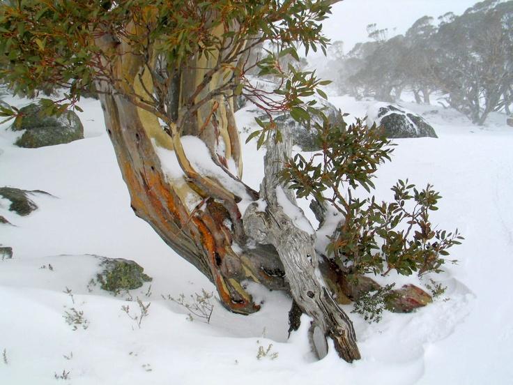BALL_Image Sharyn Wragg. Main. Snow gum.jpg (1200×900)