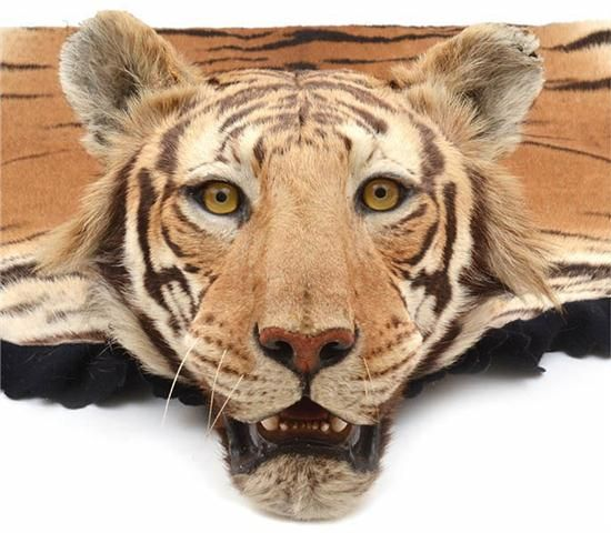 Large Bengal Tiger Skin Rug From The Famed Company Of Van