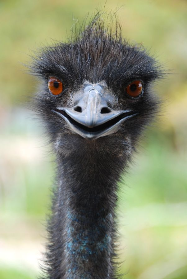 Emu, Albany, WA. 'Here's looking at you mate'. CG= https://www.pinterest.com/angghanem/australia-~-wild-serene-beautiful/