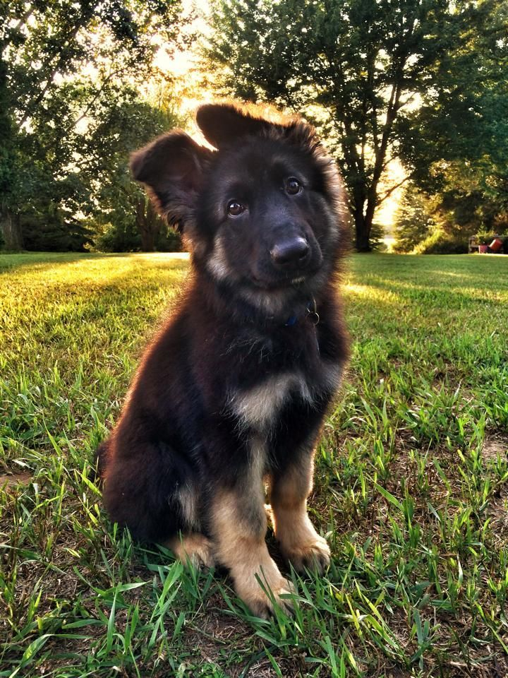 Awesome German Shepherd ... Click Photo To See More Cute Photos !!