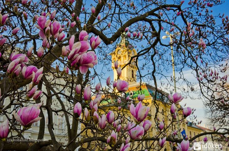 Széchényi tér - Tulipán fa