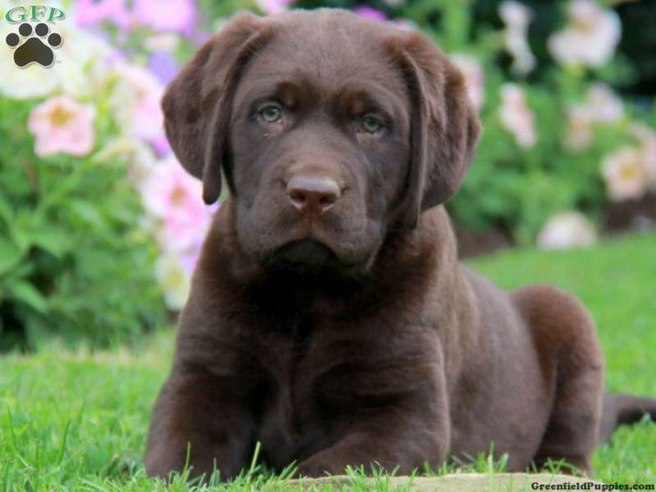 Gruver, Chocolate Lab for sale in Kinzers Pa - Greenfield Puppies