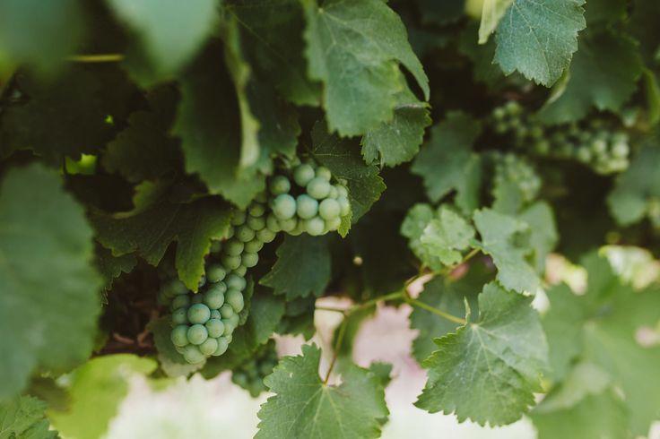 Vineyard grapes  - New seasons vintages