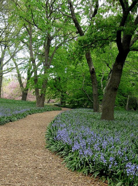 "A garden path through ""Bluebell Wood,"" at the Brooklyn Botanic Garden in New York City, as shot by my talented wife. This area is planted with some 40,000 Spanish Bluebells, Hyacinthoides hispanica var. Excelsior, and is exceptionally lovely in Spring bloom. You can visit this great institution at www.bbg/org."