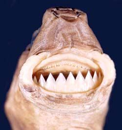 The cookiecutter shark (Isistius brasiliensis), also called the cigar shark, is a species of small dogfish shark in the family Dalatiidae. This shark occurs in warm, oceanic waters worldwide, particularly near islands, and has been recorded from as deep as 3.7 km (2.3 mi).