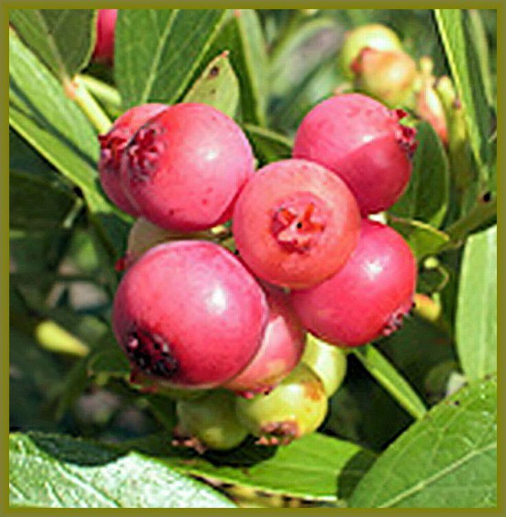 más de 25 ideas increíbles sobre arbustos de arándanos en