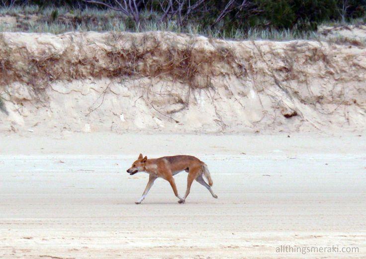 Wild Dingo on the Beach - Fraser Island