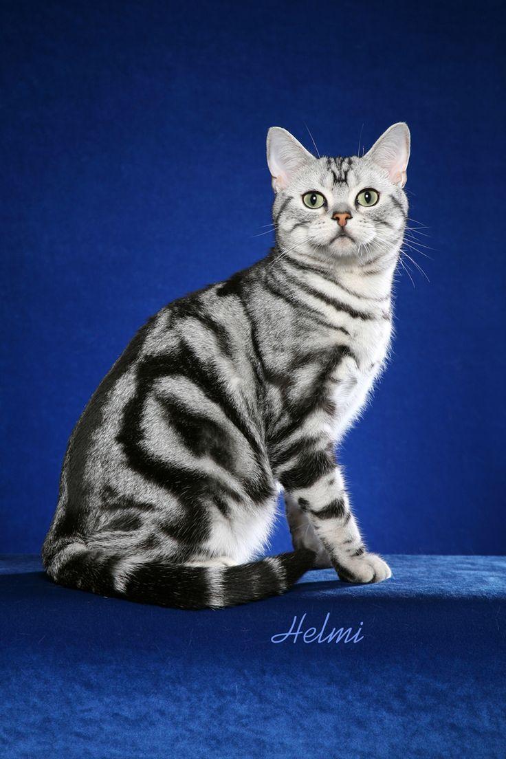 Bengal Cat Breeds Cat Breeds American Shorthair Cat