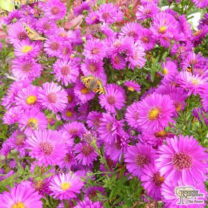 Aster novi-belgii Jenny (Michaelmas Daisy) Clump forming perennial with narrow green leaves and in summer it produces masses of reddish-purple semi-double flower-heads. Ideal for growing in containers to cheer up your patio, or for adding a splash of strong colour to your beds and borders. Combines well with other pink/purple perennials and shrubs