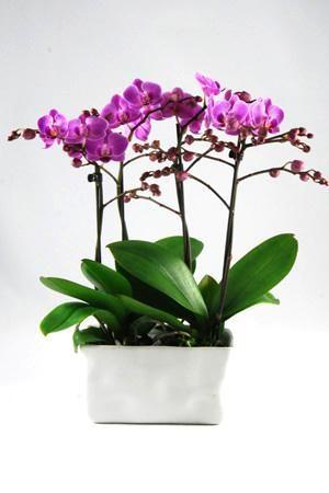 Orchidee Phalaenopsis Vienna in gedeukt 'Crushed' Wit rechthoekig keramiek. Prachtige combinatie met 4 takken en minimaal 50 knoppen!!