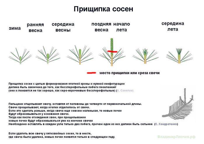Прищипка-сосны-Ляпчев (700x494, 67Kb)