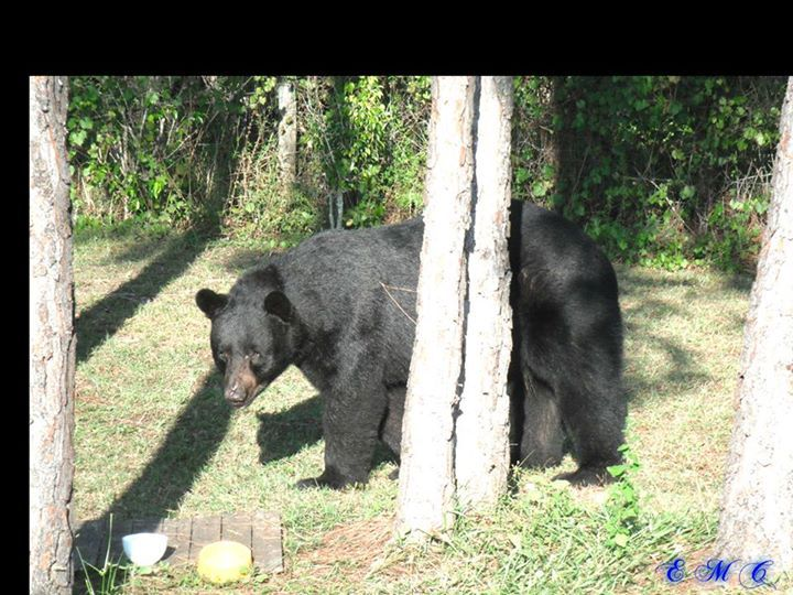 """In the past 2 weeks I've had an amazing amount of messages and  posts from people asking me """" Why don't you just use food to trap the new kits """" ?  One must remember that we live in a very different environment than most. We are in an area called Big Cypress swamp borderlining  the Florida Everglades. We have bear, panthers, wild boar, alligators, rattle snakes, coyotes and more ! Baiting a trap is not always an option as we simply can NOT take those  chances of drawing in larger predators…"""
