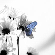 Fototapet - Julia Butterfly