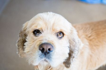 Hi my name is Beau! I am a calm and gentle soul looking for a calm and gentle home. I can go to a home with kids of any age, as long as they are appropriate with me... I'm a 5 yr.old American Cocker  waiting... here.... at the Edmonton Humane Society Edmonton, Alberta, Canada