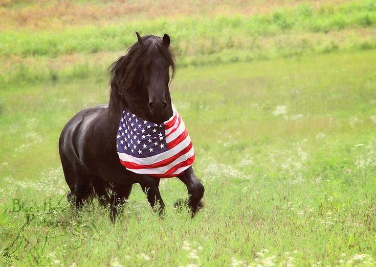 Friesian stallion wearing American flag running in a field ...