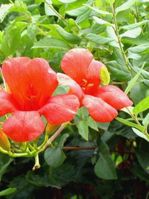 La bignone est une plante grimpante très appréciée des jardiniers pour sa floraison spectaculaire qui s'épanouit tout au long de l'été. Autre avantage : cette plante rustique peut être cultivée dans toutes les régions de France. par Audrey