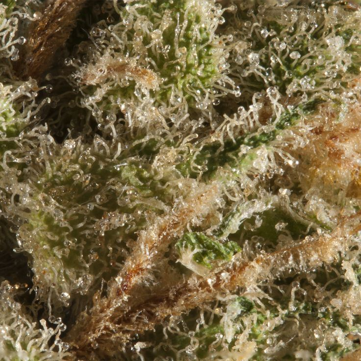 Super Lemon Haze - Focus Stacked - canon - xsi - Efs-60 w/ extension tube #420101Photography #TrichomeLove