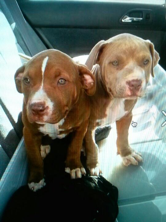 Pitbull puppies :)