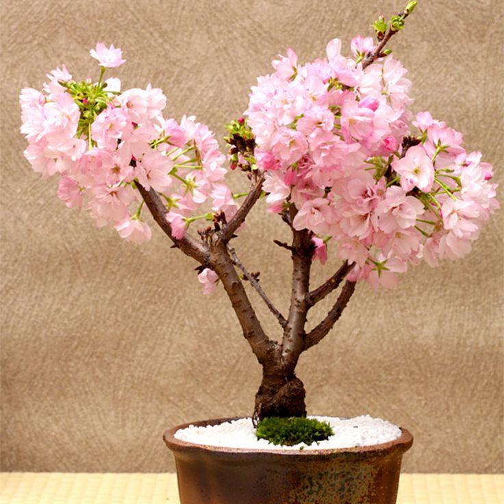 10 best ideas about mini bonsai on pinterest bonsai. Black Bedroom Furniture Sets. Home Design Ideas