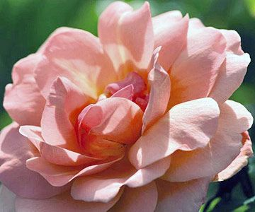 Check out this gorgeous gallery of easy-to-grow roses. From Sweet Fragrance to Firecracker, BHG showcases the best low-maintenance roses for your garden.