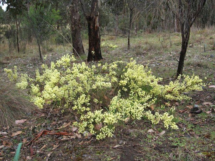 Image result for Acacia genistifolia