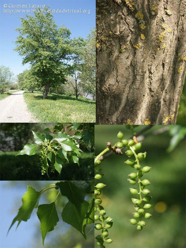 Populus nigra (Silicacea). Alamo negro, chopo.  Arbol de copa amplia de hasta 20 metros de altura. Crece en terrenos húmedos o encharcados y en márgenes de ríos. Florece en febrero y marzo.