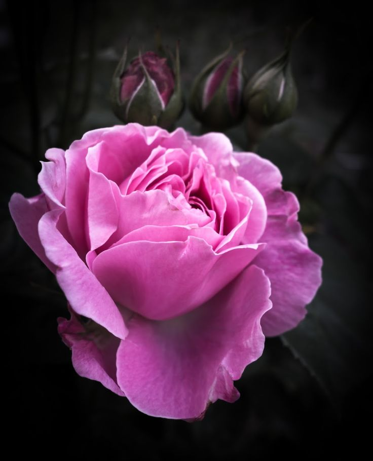 Rose I think we've reached peak rose, and summer hasn't even started yet. - Chris Sutton - Google+