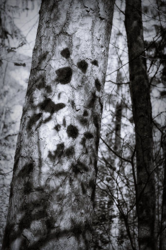 bwstock.photography  //  #shadows #leaves #tree #trunk #forest