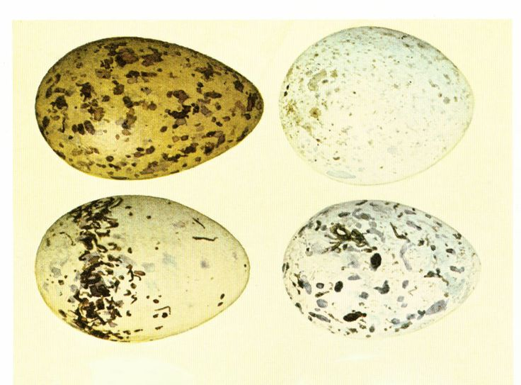 1967 Oeufs de Mouette Rieuse . Grandeur nature. Planche originale Identification. Oologie. Ornithologie. de la boutique sofrenchvintage sur Etsy