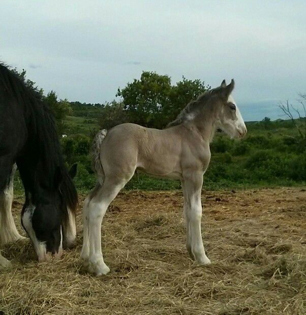 2014 Clydesdale foal. Owned by Battle River Ranch Clydesdales. com