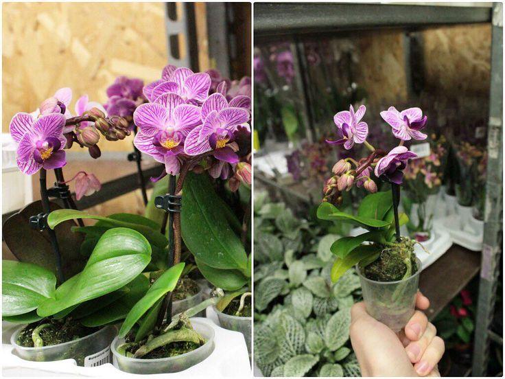 Очаровательные фаленопсисы самых разных не только расцветок но еще и размеров у нас на складе!) Только посмотрите как мило он смотрится в руке.  Но орхидеи у нас найдутся всем по душе в наличии высотой от 20см до 90см!  Принимайте участие в розыгрыше запрашивайте фотографии Ваших любимых растений. Мы Вас ждем!  #flowers #flower #petal #petals #nature #pretty #plants #flowerstagram #flowersofinstagram #flowerslovers #botanical #floral #florals #insta_pick_blossom #flowermagic #instablooms…