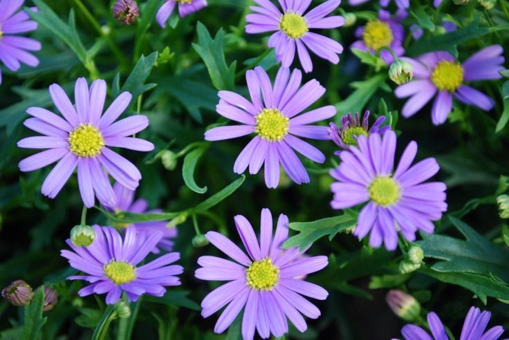 Brachyscome Mauve Bliss --- For more Australian native plants visit austraflora.com